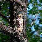 Cooper's Hawk  by Diane Blastorah