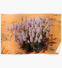 Mulla Mulla Plant in the Mallee at Mungo Poster