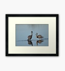 White Faced Heron. Framed Print