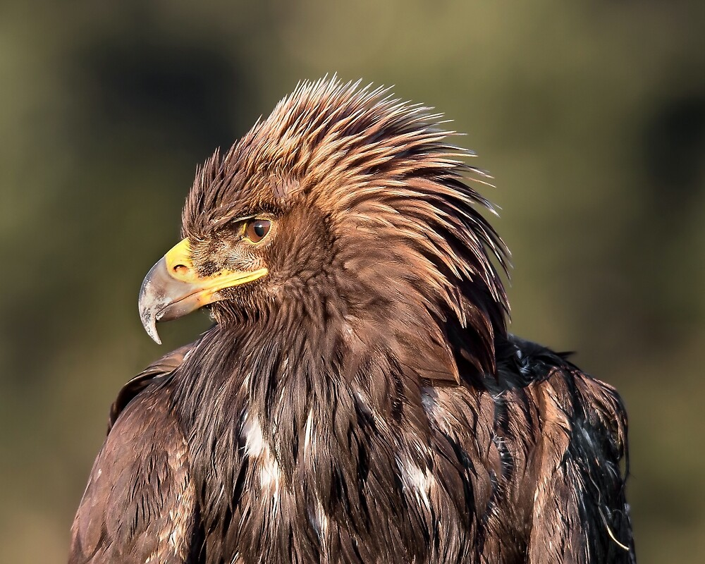 Wild Golden Eagle by Carl Olsen