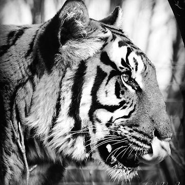 tiger by crasher59