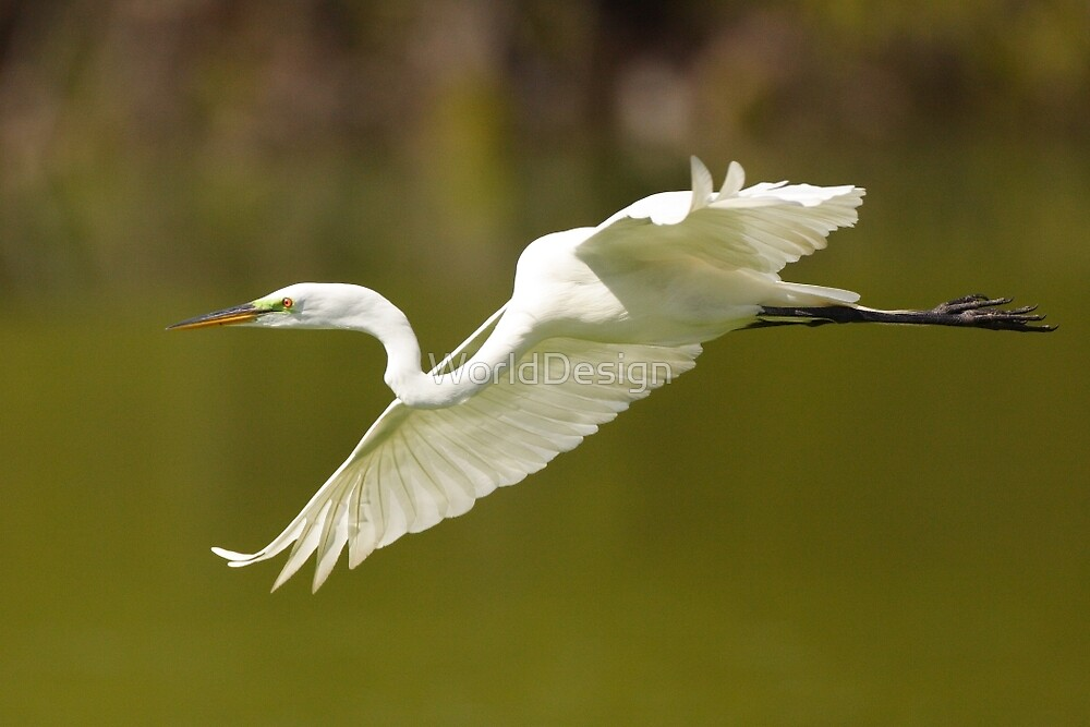 Great White Egret in Flight by WorldDesign