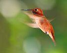 Rufous Hummingbird in Flight by WorldDesign