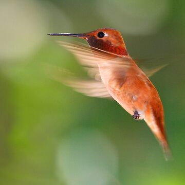 Rufous Hummingbird in Flight by WorldDesign