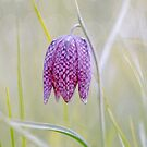Fritillaria by imagejournal