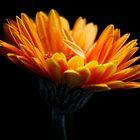 Orange delight. by Karen  Betts