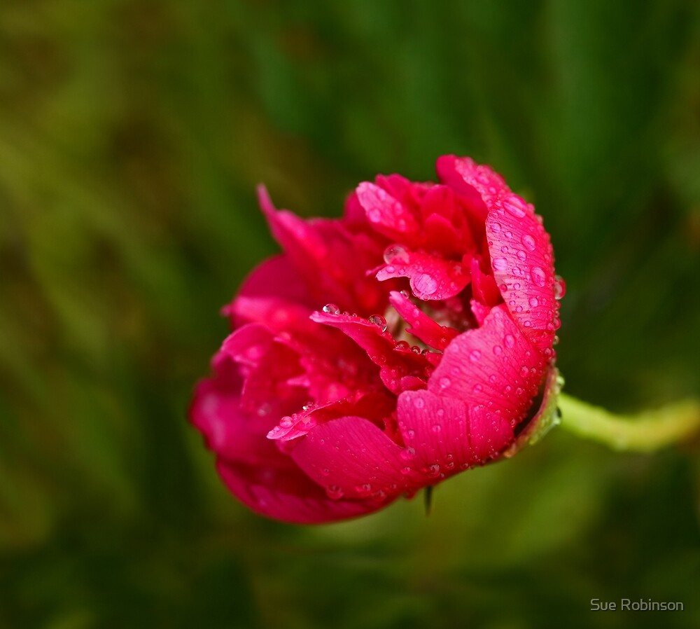 Pink Flower in Rain by Sue Robinson