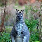 Wallaby on Bruny by jayneeldred