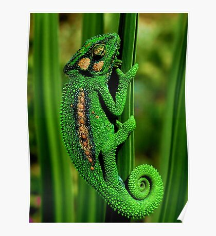 Cape Dwarf Chameleon II Poster
