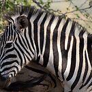 Zebra KwaZulu-Natal South Africa by Sean Elliott