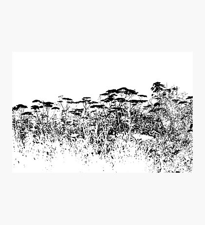 A Field Of Wild Cow Parsnip  Photographic Print