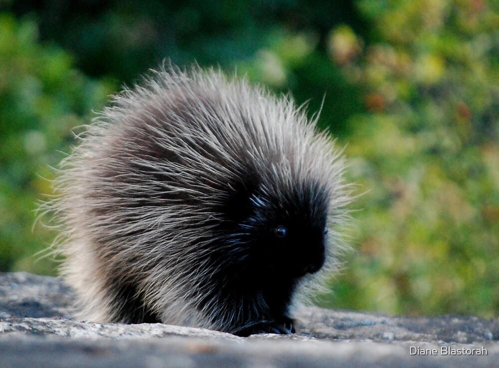 Young Porcupine by Diane Blastorah
