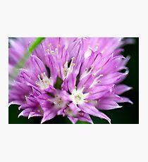Macro Chive Blossom 4 Photographic Print