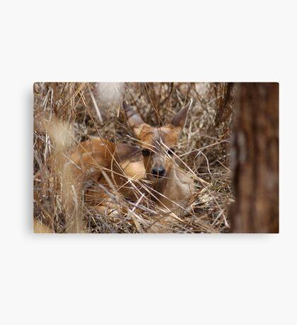 IN HIDING, THE BUSHBUCK BABY = Tragelaphus scriptus Canvas Print