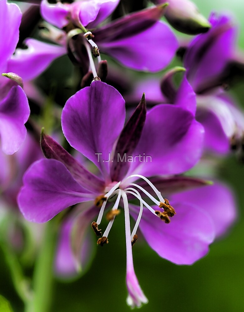Fireweed by T.J. Martin
