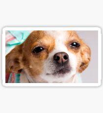 Karina the Precious Chihuahua Sticker