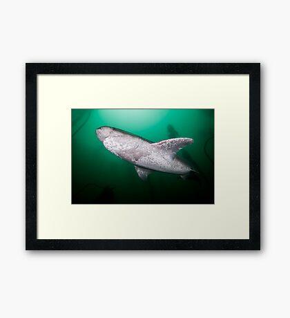 Broadnose Sevengill Shark, South Africa Framed Print