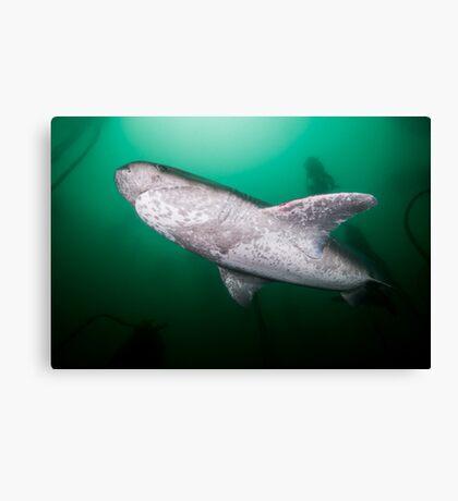 Broadnose Sevengill Shark, South Africa Canvas Print