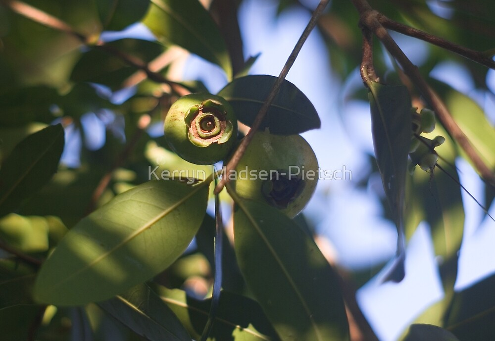 Rose Apple Fruit Amidst the Leaf Foliage  by Kerryn Madsen-Pietsch