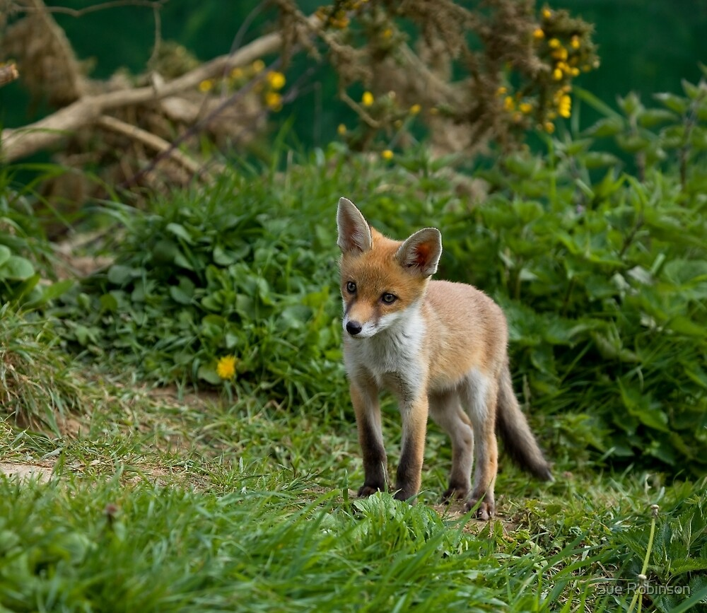 Red Fox cub by Sue Robinson