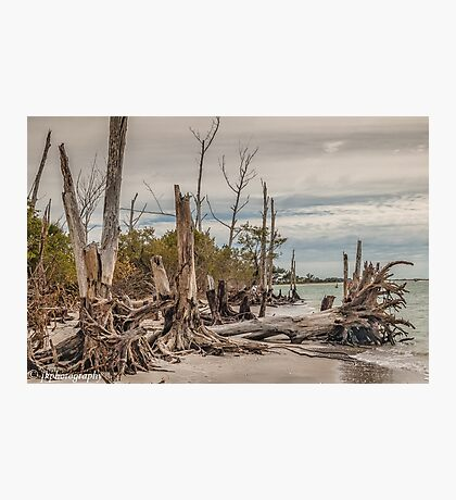 Driftwood and Stumps  Photographic Print