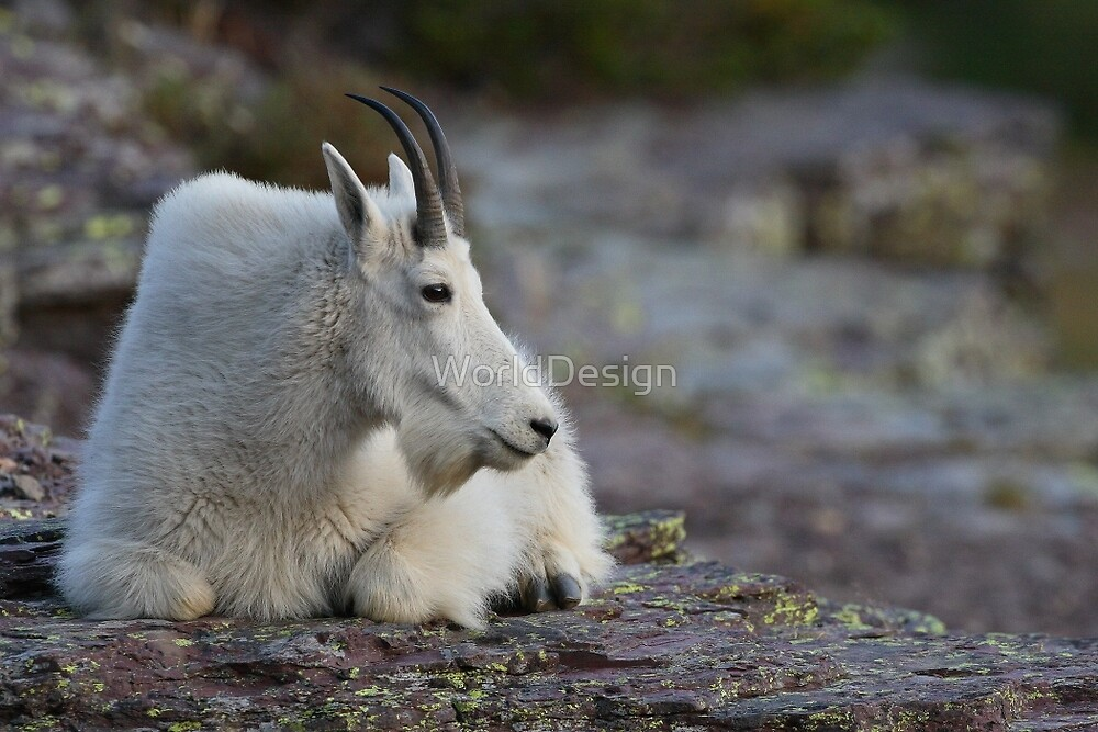 Mountain Goat Watching the Sunset by WorldDesign