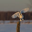 Snowy Owl taking off by Jim Cumming