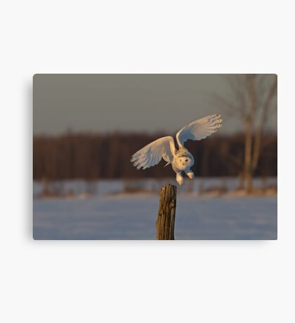 Snowy Owl taking off Canvas Print