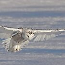 The Hunter - Snowy Owl by Jim Cumming