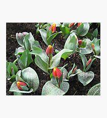Cheeky Tulips - Keukenhof Gardens Photographic Print