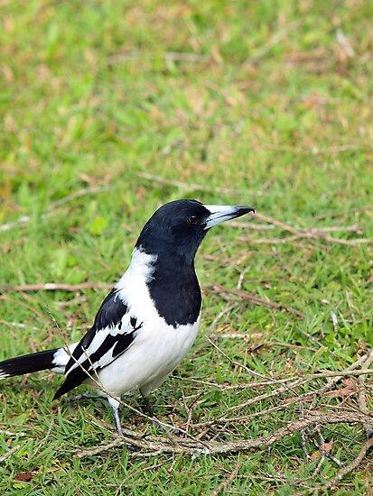 Adult Pied Butcherbird by W E NIXON  PHOTOGRAPHY