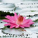 Pink waterlily  by SUBI