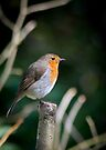 Robin perched on a branch by Sara Sadler