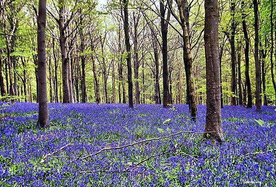 Knee Deep In Bluebells! by naturelover
