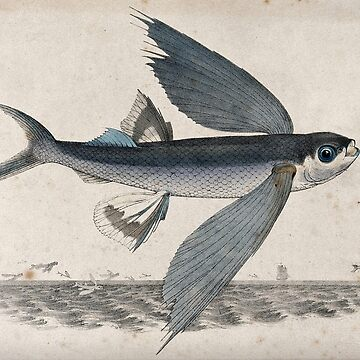 Flying Fish, a Lithograph by Richard Bridgens, c 1840 by c-w-w