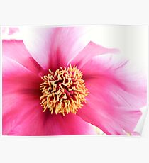 Spring Altered Pink Peony Poster