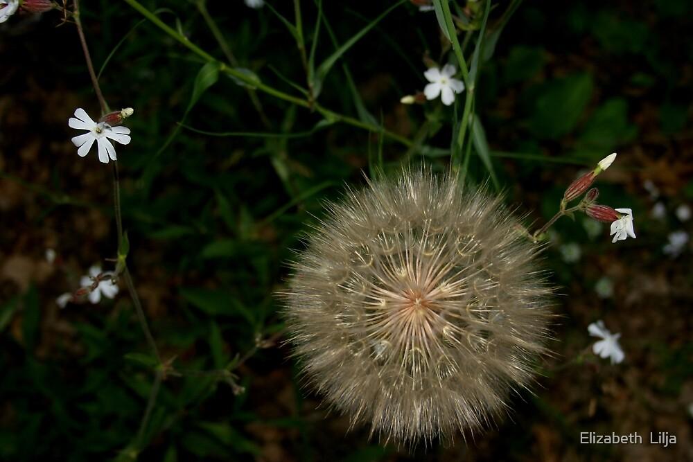 White Dandelion by Elizabeth  Lilja