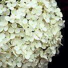 White Hydrangea. by Karen  Betts