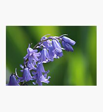 Violet-Blue English Bluebells Photographic Print