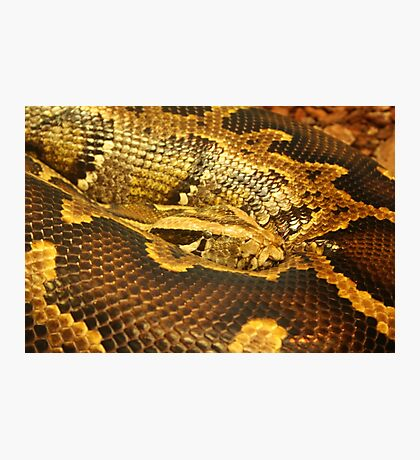 Boa constrictor Up Close Photographic Print