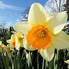 Daffodils by Kawka