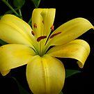Yellow Lily by Vitta
