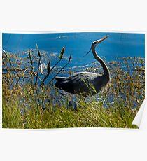 Posing Great Blue Heron Poster