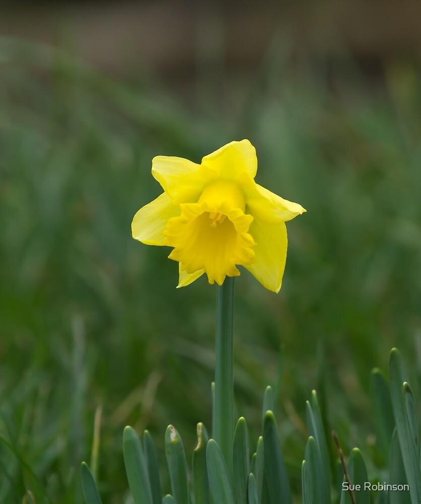 Daffodil by Sue Robinson