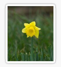 Daffodil Sticker
