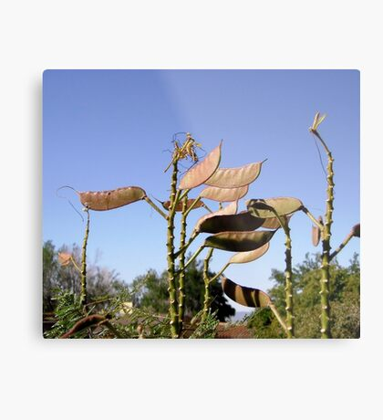 Seed Pods from Bird of Paradise bush Metal Print