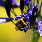 Busy Bumble Bee 4 by Glenn Bumford