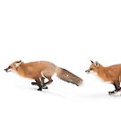 Running Foxes - Red Fox by Jim Cumming