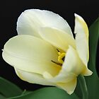 White Tulip About to Open by Kathleen Brant