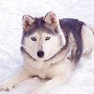 Husky in snow by rmcbuckeye